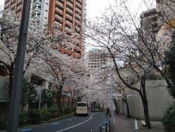 見事な桜のトンネル🌸