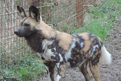 GaiaZoo heeft een grote troep Wilde Honden