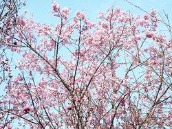 桜も既に満開でした。