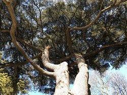 Les frondaisons magnifiques de l'arbre-roi du Parc du Cèdre