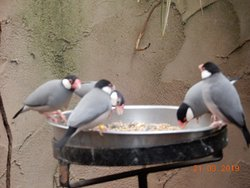 Java sparrows feeding together