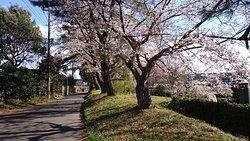 石田堤の桜並木