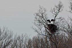 Bald Eagle nest across the lake