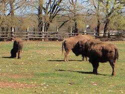 les derniers bisons