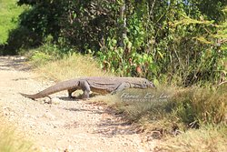 Komodo Dragon. The biggest lizard in the world. It is the tourism icon of our district (Manggarai Barat - Flores - Indonesia)