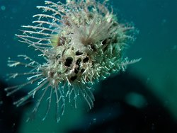 hairy frog fish rb