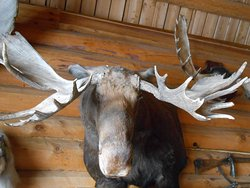Chochur-Muran Restaurant. A close-up of the Moose in the dining area.
