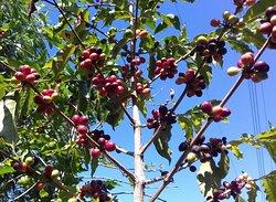 Cafe cerezo en el arbusto o cafeto listo para ser cosechado ! Coffee beans on the bush during the harvest season !