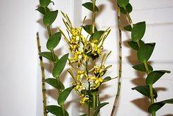 Dendrobium Sutiknoi