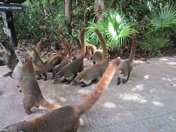 More coatis  on path between lobby and pool area