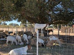 """Cabras en """"La Granja"""""""