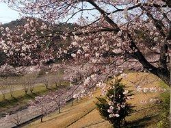 4月5日満開近い桜