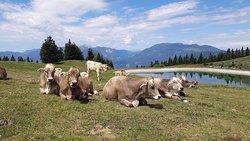 Cows in our landscape park
