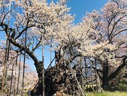 Yamataka Jindai Cherry Blossom