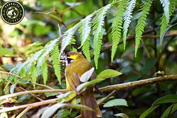 Yellow eared bulbul - Endemic to Sri Lanka....