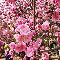 Yuyuantan Cherry Blossom Fair