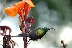 Bronze sunbird that I photographed on Kalitusi's grounds.