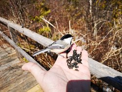 The Boardwalk between the Cedar Forest and the Point Loop is becoming a favourite destination for visitors to Ken Reid Conservation Area as the chickadees have taken to being fed by hand.