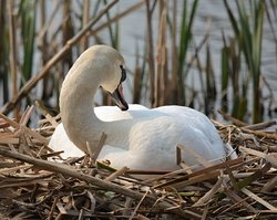 Swan on the nest