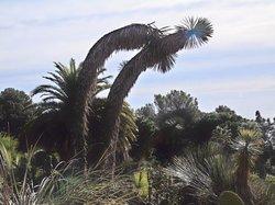 Remarquables spécimens de yuccas