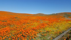 Carpets of Golden Poppies laid out before you