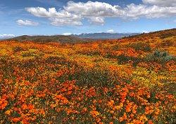 Antelope Valley California Poppy Reserve