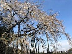 Linda árvore milenar