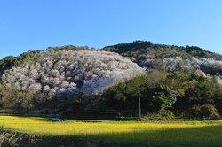 岩屋の千本桜。素敵でした!4月は大水車と合わせて、訪れるべし^_^