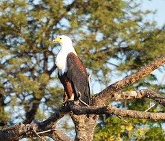 Fish Eagle at Crocodile pools river safaris Botswana