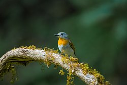 White Bellied Blue flycatcher female