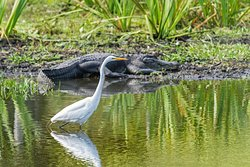 White Egret with large gator in the background