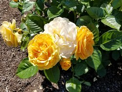 Government Gardens roses