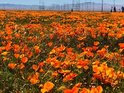 Super Bloom at Antelope Valley California