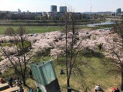 Sakuras blooming
