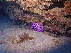 Club tipped anemone
