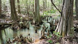 Battle Creek Cypress Swamp Sanctuary