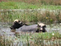 Buffalo bathing in the lake a short walk from our room