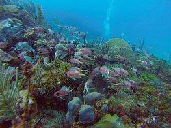 Hermosos corales y peces en las costas habaneras, fotos tomadas por Cuba Blue Diving