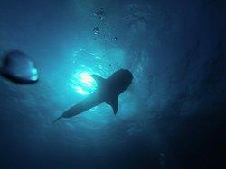 Foto auténtica de Cuba Blue Diving de un tiburón ballena en la costa de Cuba