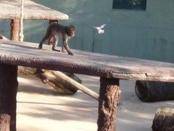 Macaco del Giappone