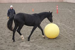 In the indoor arena at Dreamcatcher Meadows we break winter boredom by teaching our young Hanoverian horses our version of football.