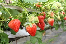 Goodall's Strawberry Farm