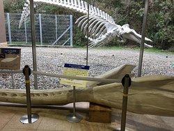 海の博物館、ロビーから見たツチクジラの骨格