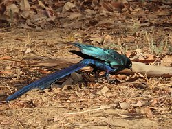 Long-tailed Glossy Starling on Fajara Golf Course