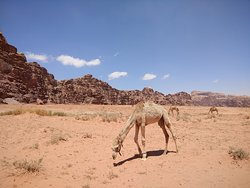 A lot of camels grazing in the desert