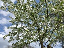 Leuven, Botanical Garden Kruidtuin, dove tree