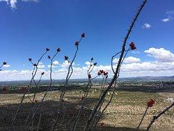Ocotillos blossom after spring rains