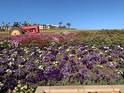 Huge flower fields, old Glory, tractor jock