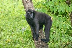 Black Crested Masaque