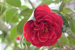 On the Camellia Trail.